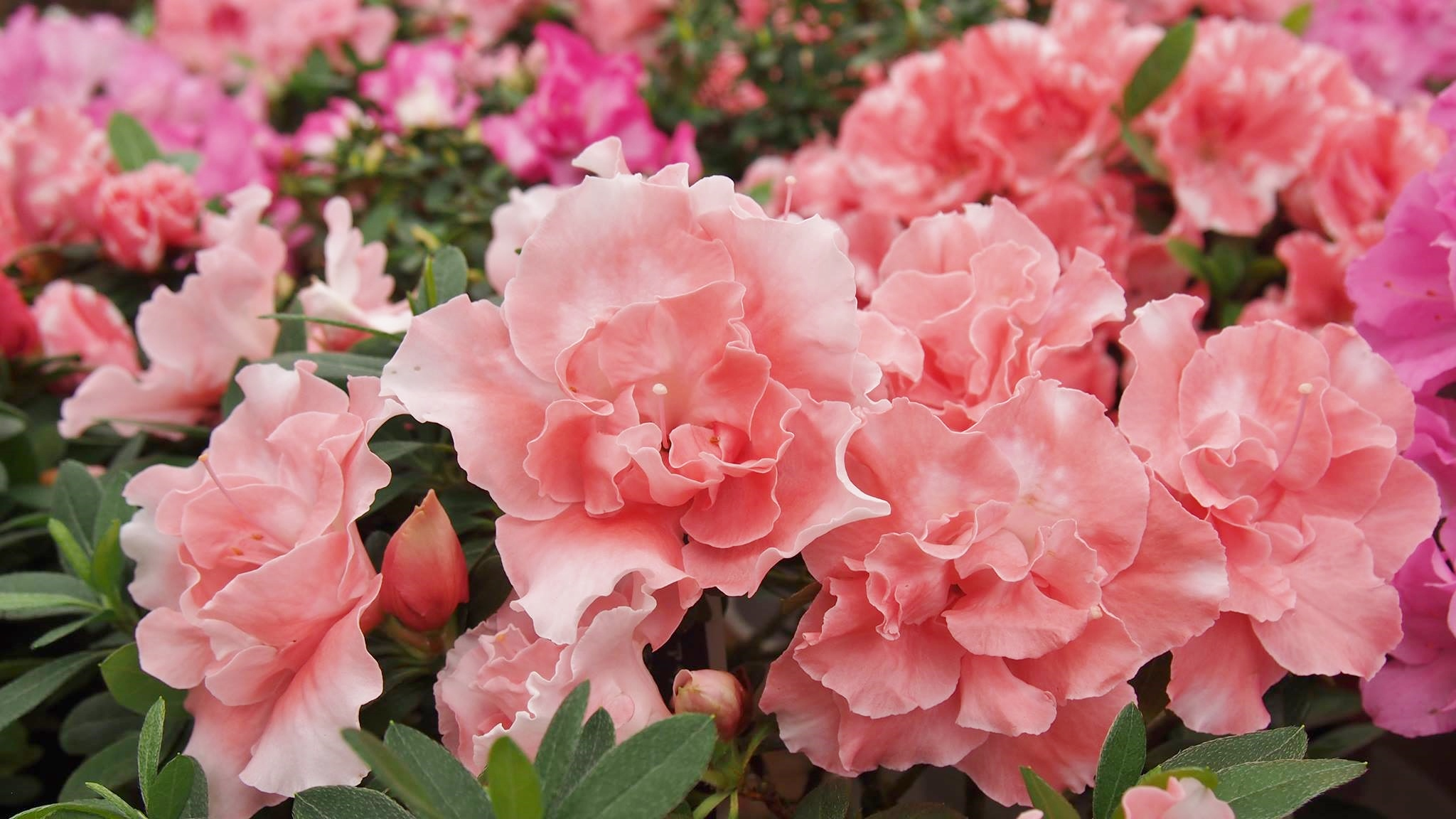 アザレアの花言葉|赤・紫・ピンク・白など色別の意味