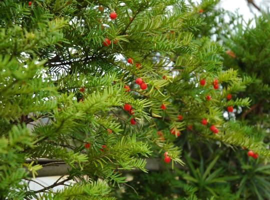 植物Q&A イチイ|新潟県都市緑花...